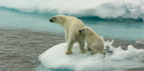 Polar bears are sitting on a melting piece of ice due to climate change. (China Dialogue Ocean)